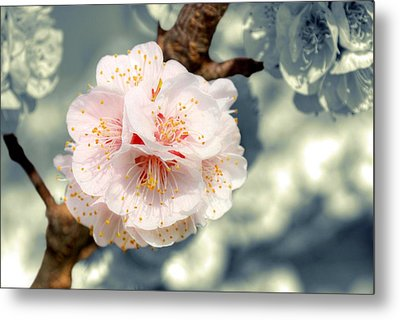 Orchard Of Apricot Trees Metal Print by Alain Cachat