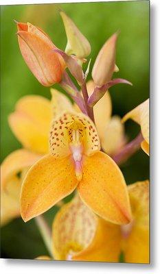 Orchid Disa Kewensis Metal Print by Jon Stokes