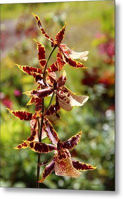 Orchids Catching Morning Sunshine Metal Print by Kerri Ligatich