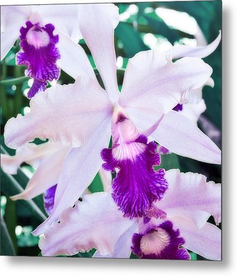 Metal Print featuring the photograph Orchids White And Purple by Steven Sparks