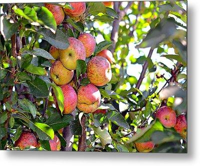 Organic Apples In A Tree Metal Print by Susan Leggett