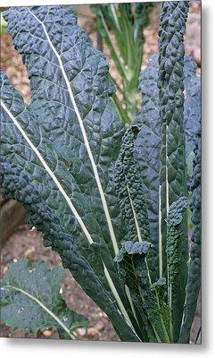 Organic Black Kale Cabbage Metal Print by Maxine Adcock