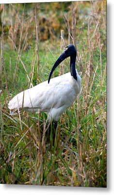Metal Print featuring the photograph Oriental White Ibis by Pravine Chester