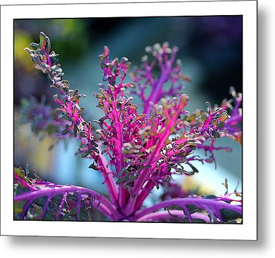 Metal Print featuring the photograph Ornamental Cabbage by Judi Bagwell