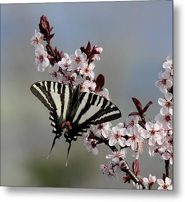Ornamental Plum Blossoms With Zebra Swallowtail Metal Print by Lara Ellis