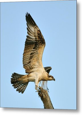 Metal Print featuring the photograph Osprey After Flight by Rick Frost