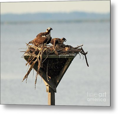 Osprey And Chicks Metal Print