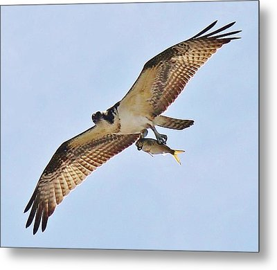 Osprey Carrying His Lunch Metal Print by Paulette Thomas