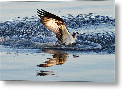 Osprey Crashing The Water Metal Print by Bill Cannon
