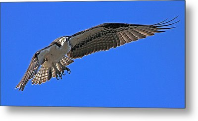 Metal Print featuring the photograph Osprey Flight by Larry Nieland