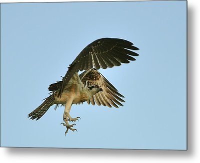 Metal Print featuring the photograph Osprey In Flight by Rick Frost