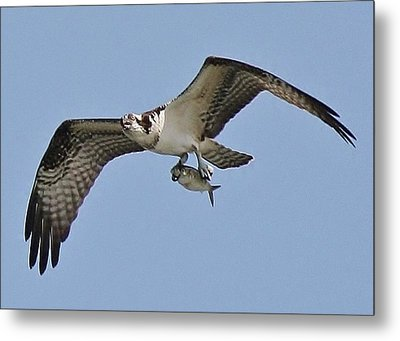 Osprey With The Catch Of The Day Metal Print by Paulette Thomas