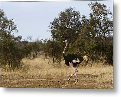 Ostrich Prance Metal Print by Marion McCristall