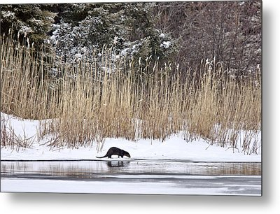 Otter In Winter Metal Print