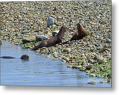 Otters On The Beach Metal Print by Louise Heusinkveld