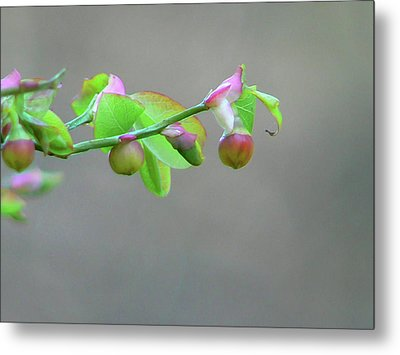 Pacific Huckleberry Metal Print by Pamela Patch