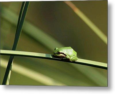 Pacific Tree Frog Metal Print by Angie Vogel