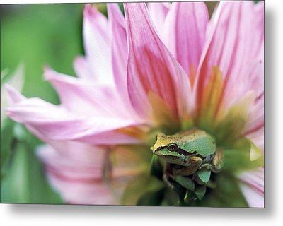 Pacific Tree Frog In A Dahlia Flower Metal Print by David Nunuk