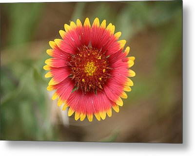 Painted Blanket Flower Metal Print