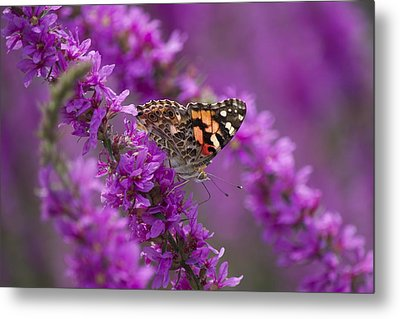 Painted Lady 2 Metal Print by Michel DesRoches