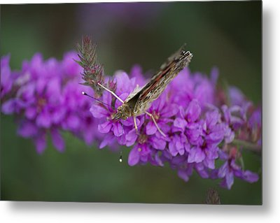 Painted Lady Looking Metal Print