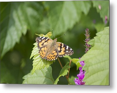 Painted Lady Metal Print by Michel DesRoches