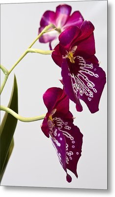 Painted  Orchid L Metal Print by Shirley Mitchell