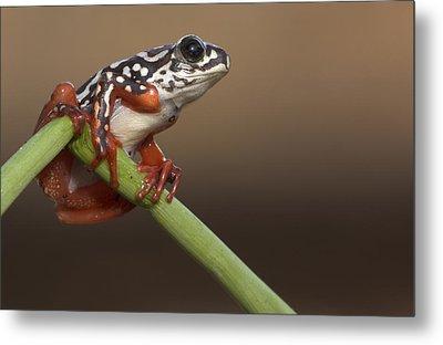 Painted Reed Frog Botswana Metal Print by Piotr Naskrecki