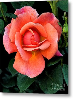 Metal Print featuring the photograph Painted Rose by Cindy Manero