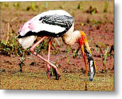 Painted Stork Feeding Metal Print by Pravine Chester