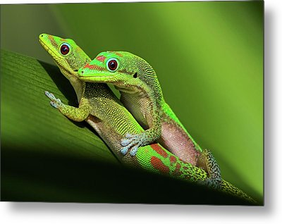 Pair Of Mating Green Geckos Metal Print by Pete Orelup