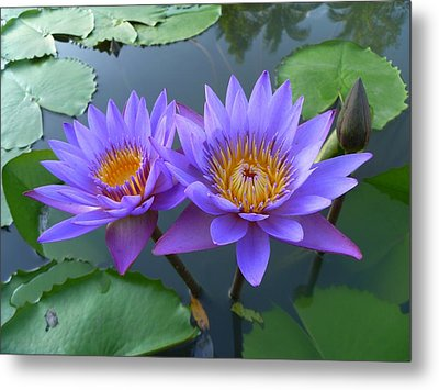 Pair Of Purple Lotuses Metal Print by Gregory Smith