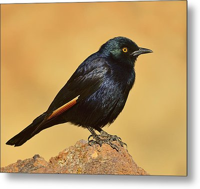 Pale-winged Starling Metal Print by Tony Beck