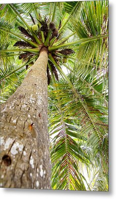 Palm Tree From Below With Coconut Fruit Metal Print by Anya Brewley schultheiss