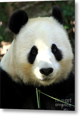 Metal Print featuring the photograph Panda by Anne Raczkowski