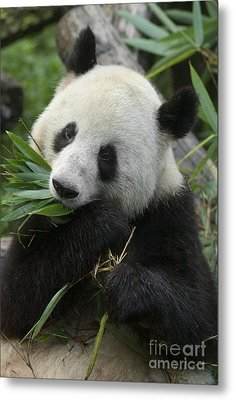 Metal Print featuring the photograph Panda Having Lunch by Craig Lovell