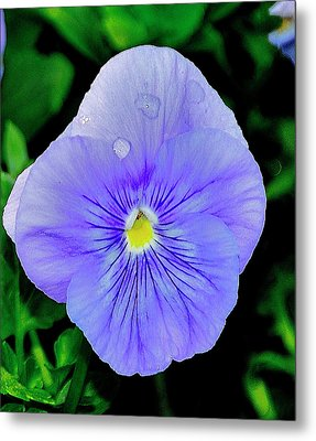 Metal Print featuring the photograph Pansy by Helen Haw
