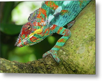 Panther Chameleon Metal Print by Dave Stamboulis Travel Photography