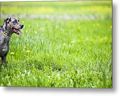 Panting Dog Standing In Meadow Metal Print