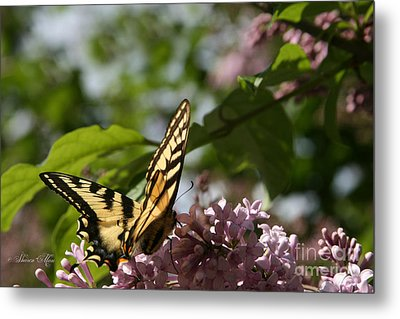 Papilio Glaucus   Eastern Tiger Swallowtail  Metal Print by Sharon Mau