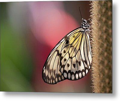 Papillon Metal Print by Pndtphoto