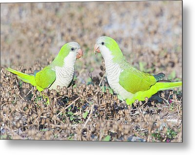 Parakeet Metal Print by Alex Bramwell