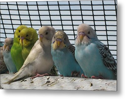 Parakeets In A Row Metal Print by Bonnie Goedecke