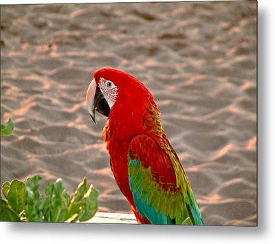 Parrot In Maui Metal Print by Rob Green