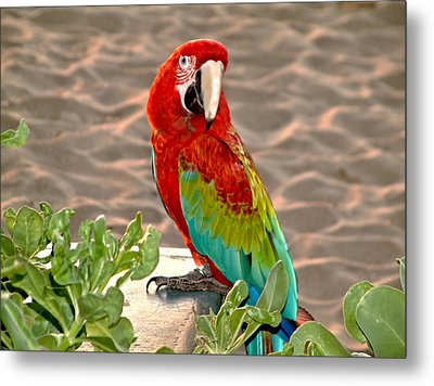 Parrot Sunning On The Beach Metal Print by Rob Green