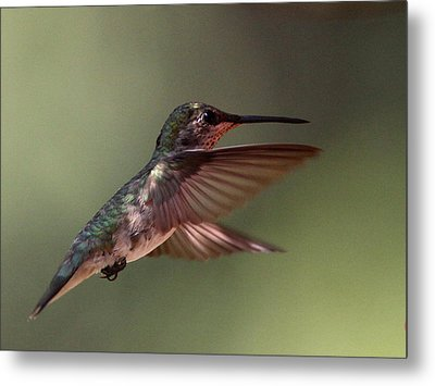 Partial Shade For The Ruby- Throated Hummingbird Metal Print by Travis Truelove