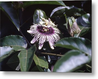 Metal Print featuring the photograph Passion Flower by Craig Wood