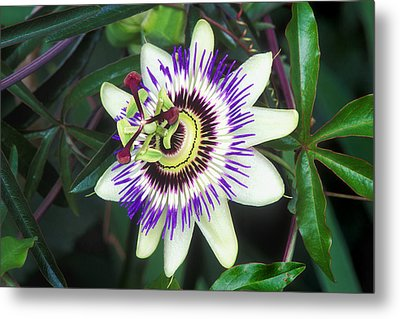 Passion Flower (passiflora Sp.) Metal Print