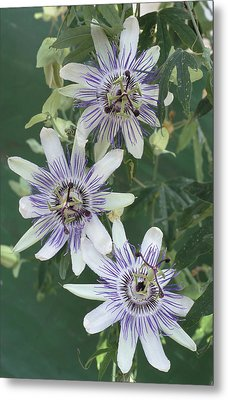 Passion Flowers Metal Print by Archie Young