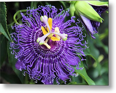 Passionflower Purple Metal Print by Rosalie Scanlon